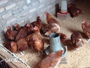 Chitanga chickens 1