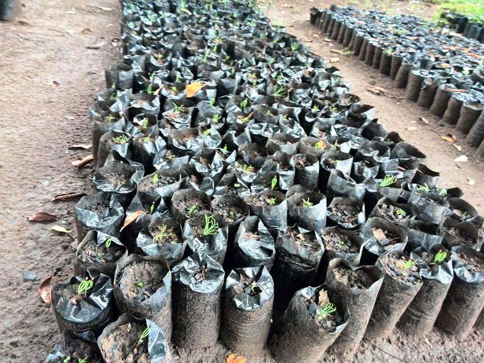 20160229 Chisamba Pine